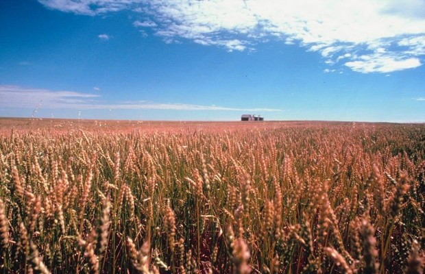 Glyphosate Resistant Wheat Found In Oregon
