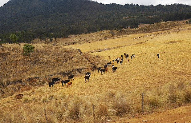 Heat Leads To Livestock Deaths