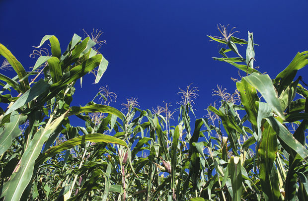 Syngenta Seeks to Settle GMO Corn Cases