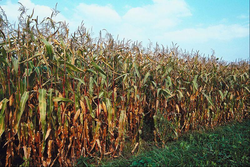 Corn conditions slip a bit
