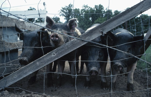 Activist Group Protesting Hog Housing In South Dakota And Iowa