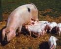 PigPiglets