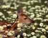 fawn_deer